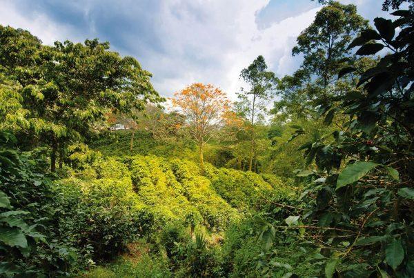 Kaffeesträucher im Schattenanbau