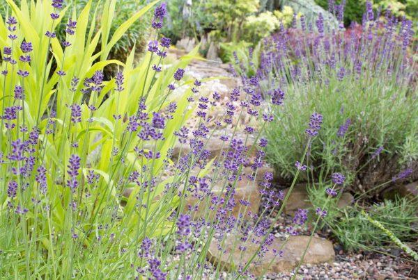 Kiesgarten mit Lavendel