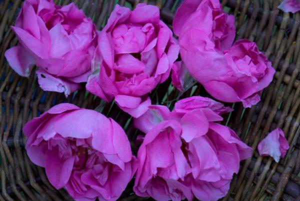 Die Blüten der Zentifolie im Korb