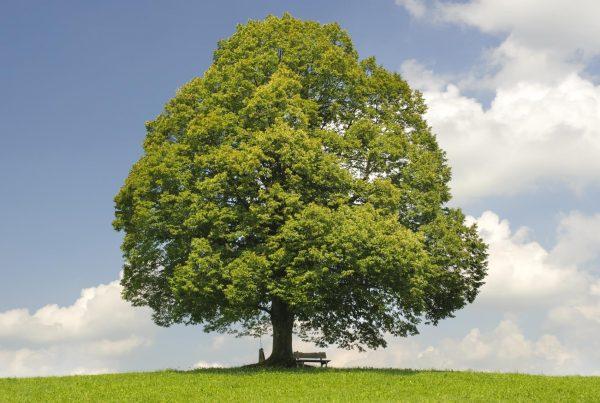 Baum: Die Linde