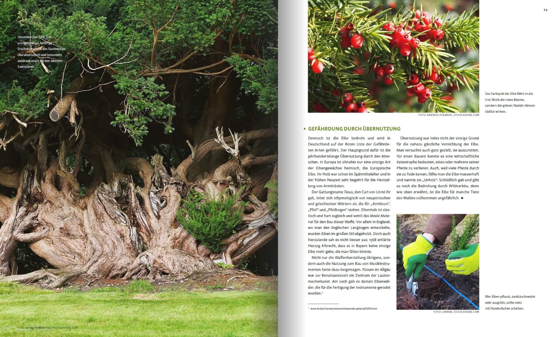 GARTENDESIGN INSPIRATION Ausgabe 6/2019: Die Eibe